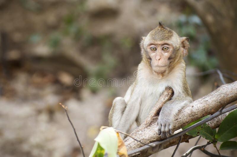 泰国猴子 免版税库存照片