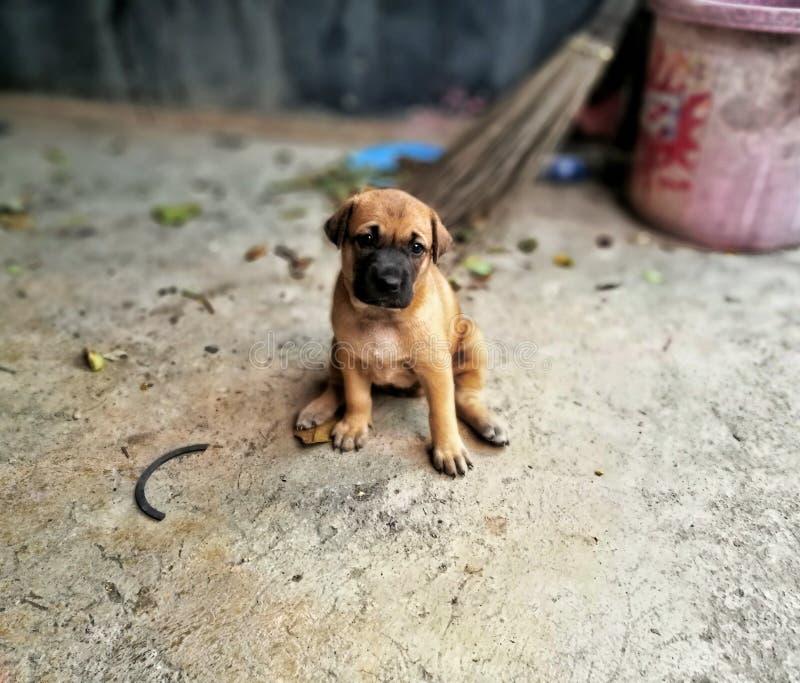 泰国婴孩Ridgeback狗& x28; thailand& x29狗; 免版税库存照片