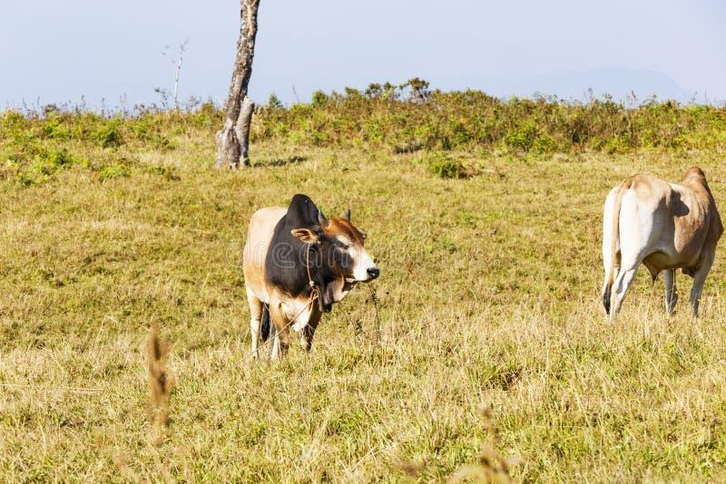泰国dometic牛肉牧群  库存照片