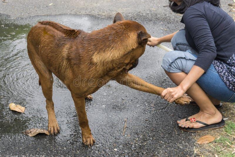 泰国ridgeback狗在与妇女的一个热的夏日洗浴 免版税库存图片