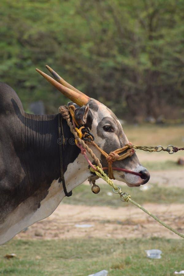 泰米尔人原物公牛 免版税图库摄影