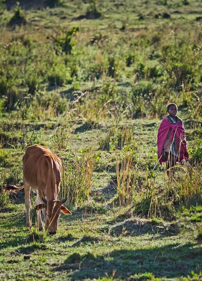 泽西母牛牧群在新生米德兰平原,非洲 免版税库存照片