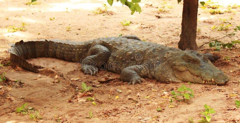 泽鳄或沼泽鳄鱼 库存图片