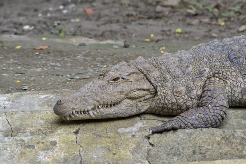 泽鳄鳄鱼/沼泽鳄鱼(湾鳄palustris)取暖 免版税库存照片