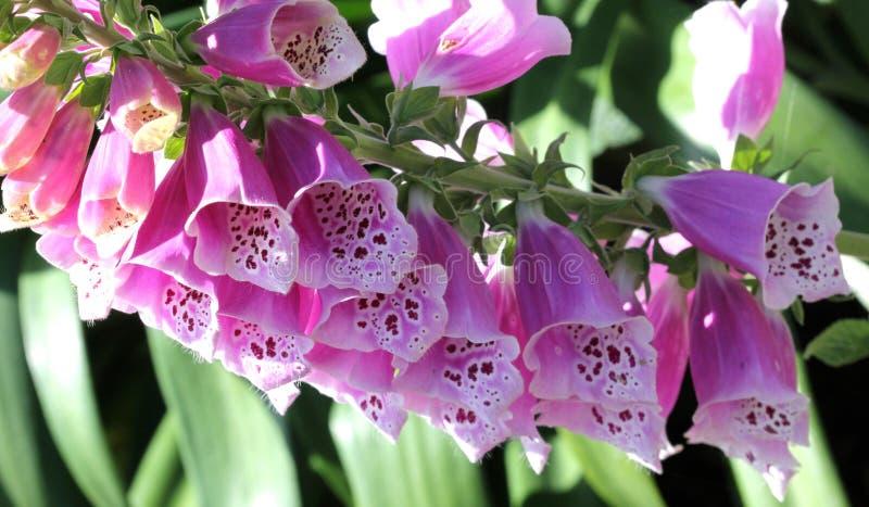 洋地黄purpurea,紫色毛地黄属植物,共同的毛地黄属植物 免版税库存图片