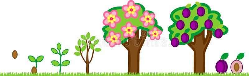 洋李的生命周期 植物生长阶段从种子到树用果子 皇族释放例证