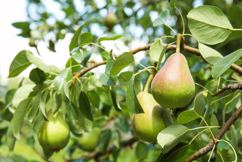 洋梨树分支用果子 免版税库存图片