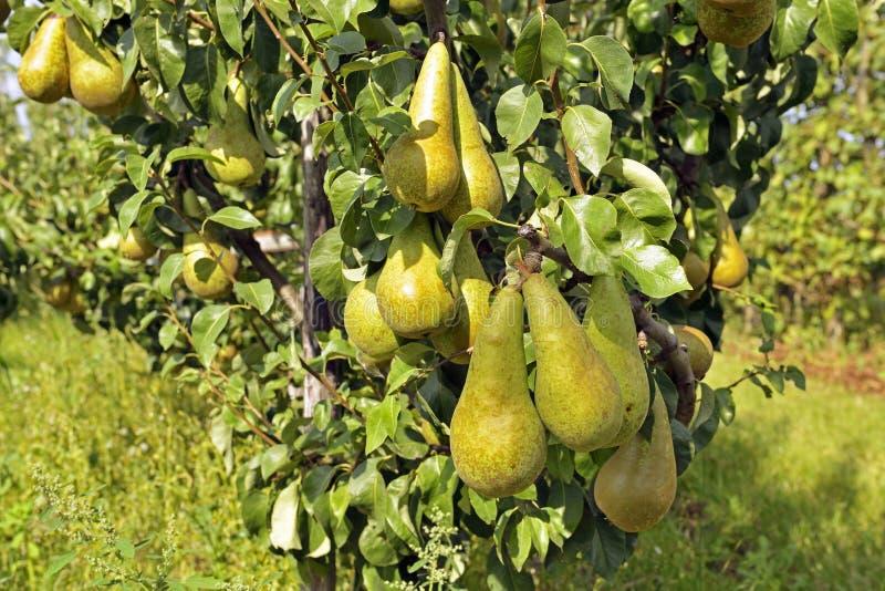 洋梨树用黄色梨 免版税图库摄影