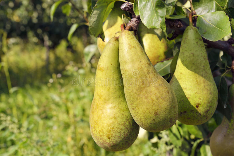 洋梨树用黄色梨 库存照片
