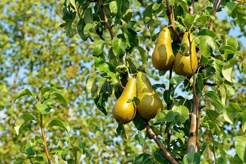 洋梨树用黄色梨 库存图片