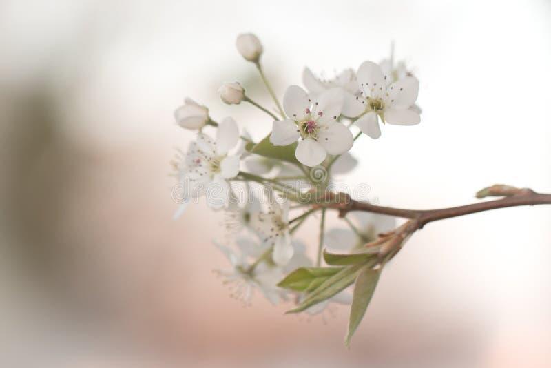 洋梨树的白色绽放 库存图片