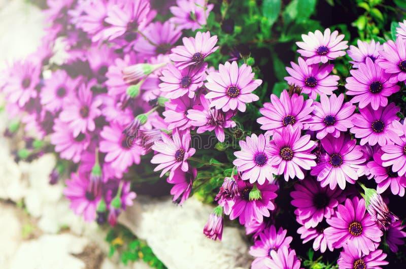 洋红色双色, pericallis杂种背景 开花紫色紫罗兰 复制空间 开花春天,异乎寻常的夏天 免版税库存图片