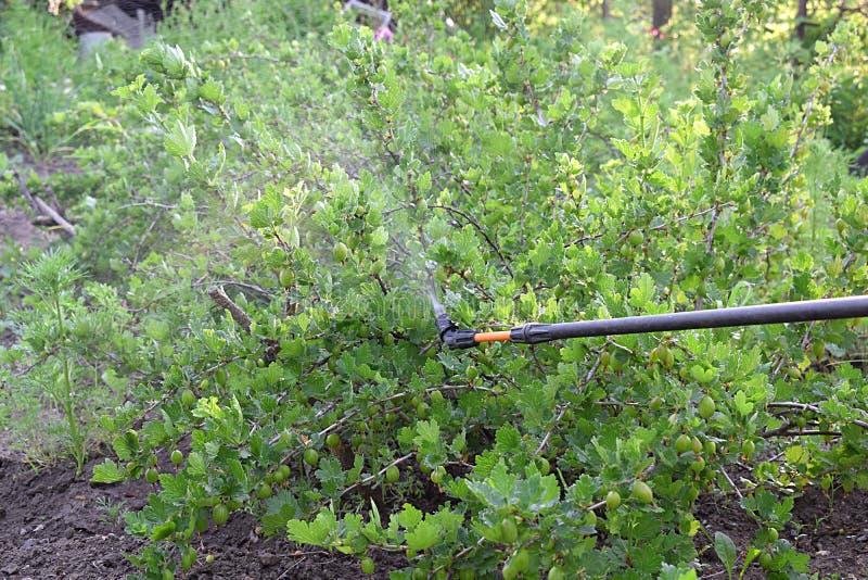 洒醋栗灌木丛与杀真菌剂在春天 免版税图库摄影