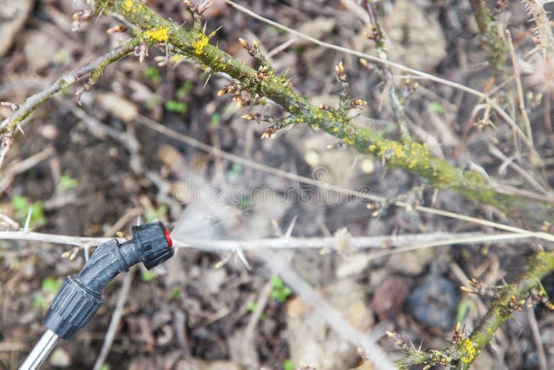 洒鹅莓与杀真菌剂 免版税库存图片