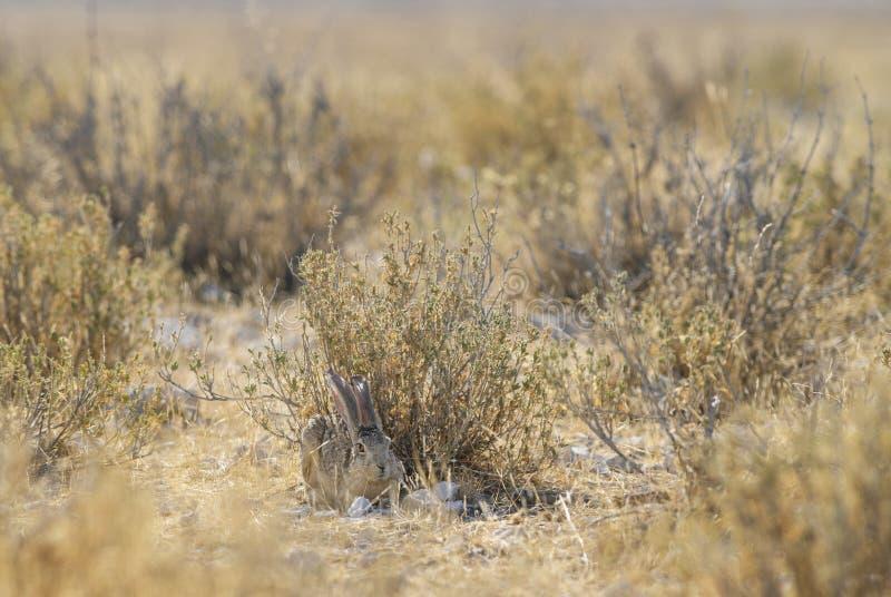 洗刷野兔-天兔座saxatilis 免版税库存图片