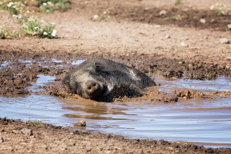 洗泥浴的野公猪 免版税图库摄影