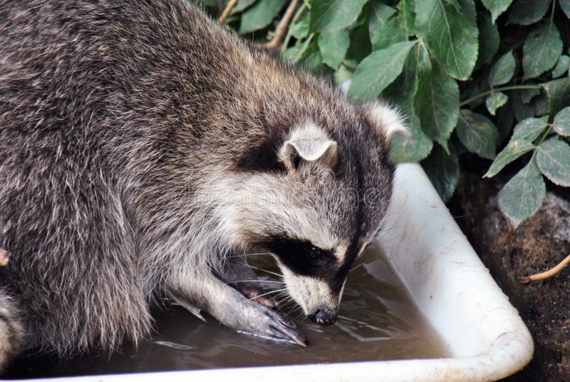 洗涤它的食物的毛茸的浣熊 免版税库存图片