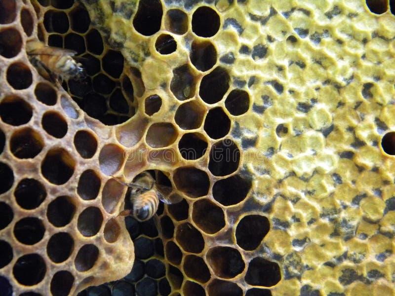 洞寄生虫梳子和加盖的蜂蜜 库存照片