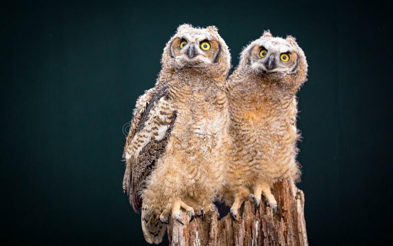 洞穴猫头鹰一对美好的夫妇  免版税库存照片