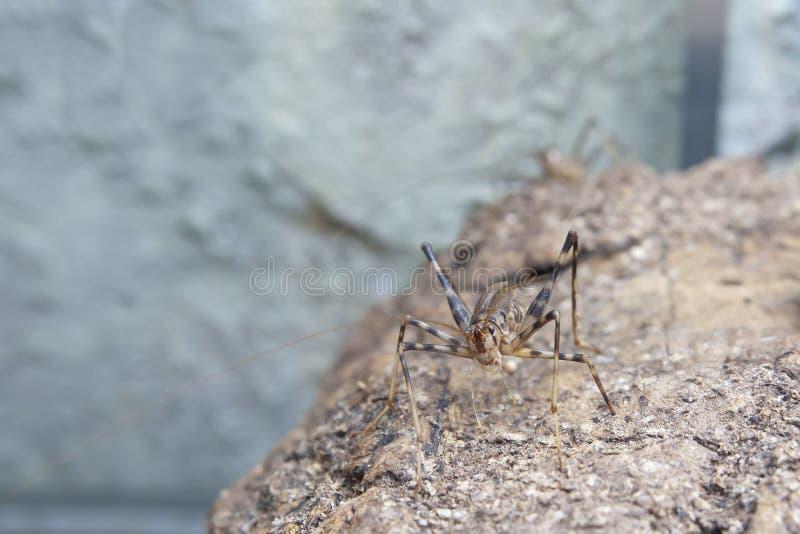 洞蟋蟀坐石头 免版税库存照片