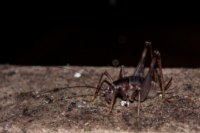 洞蟋蟀 库存图片