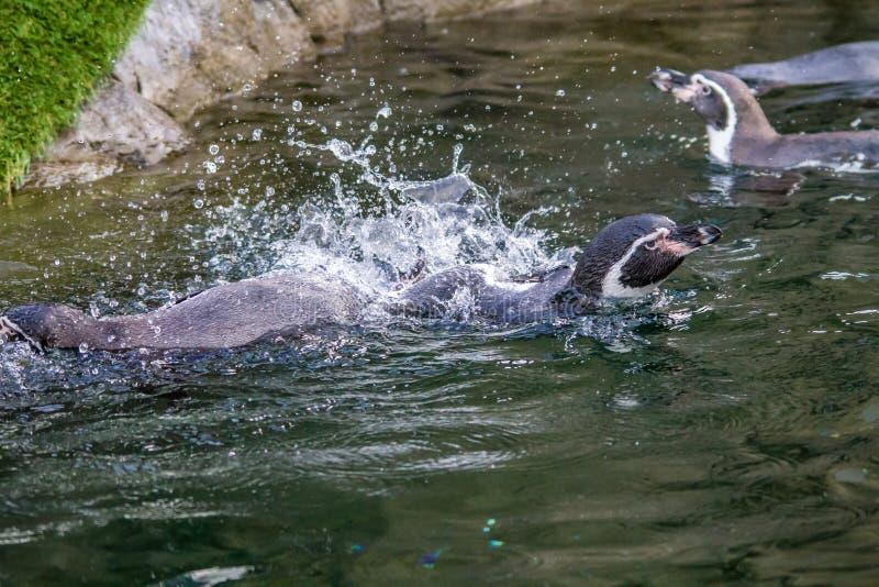 洪堡企鹅,卡尔加里动物园,卡尔加里,亚伯大,加拿大 免版税库存图片