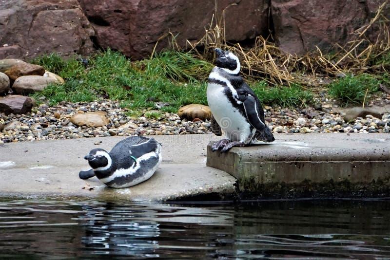洪堡洗浴的企鹅夫妇 免版税库存照片