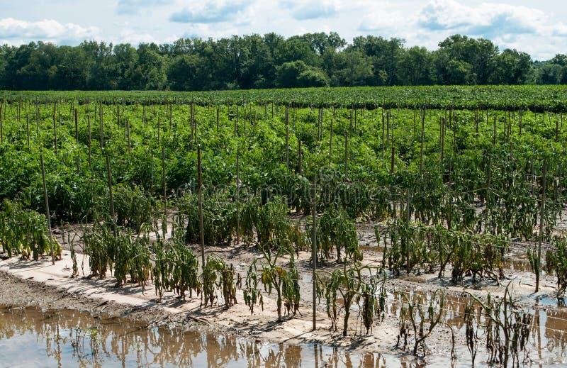 洪水损坏的西红柿收获 免版税库存图片