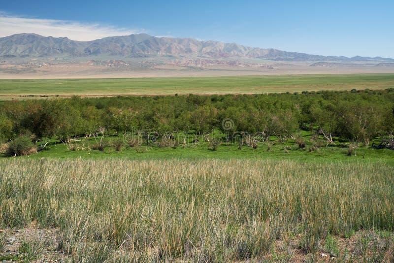 洪泛区Khovd aimak的桦树森林在蒙古 库存图片