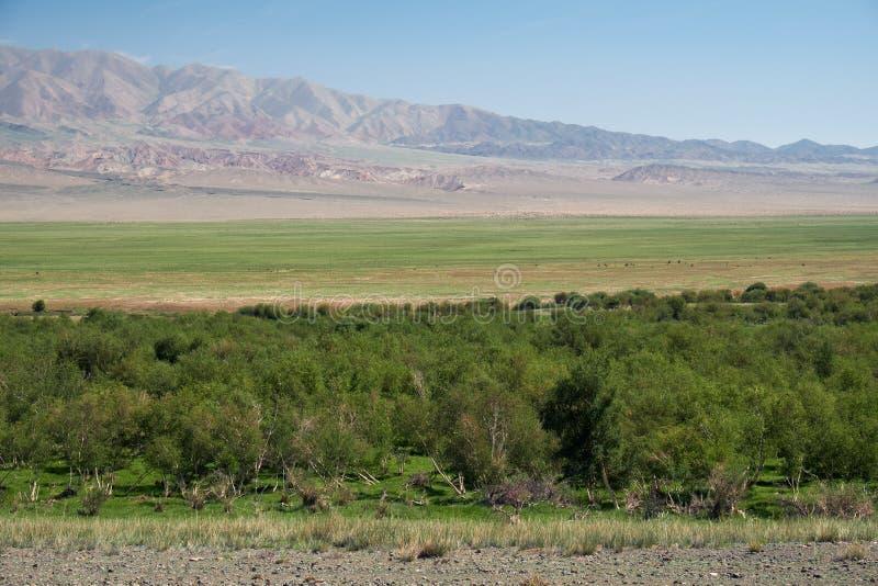 洪泛区Khovd aimak的桦树森林在蒙古 免版税库存照片
