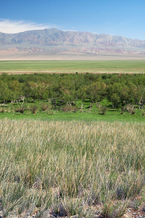 洪泛区Khovd aimak的桦树森林在蒙古 库存照片