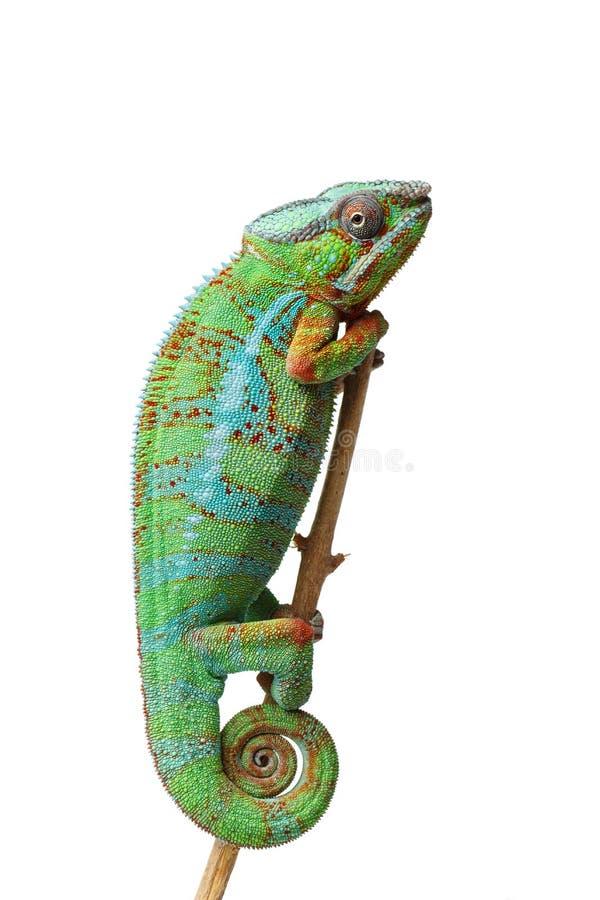 活变色蜥蜴爬行动物 库存照片