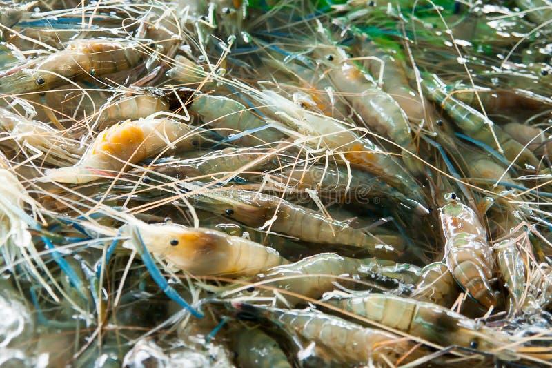 活虾在水中 库存图片