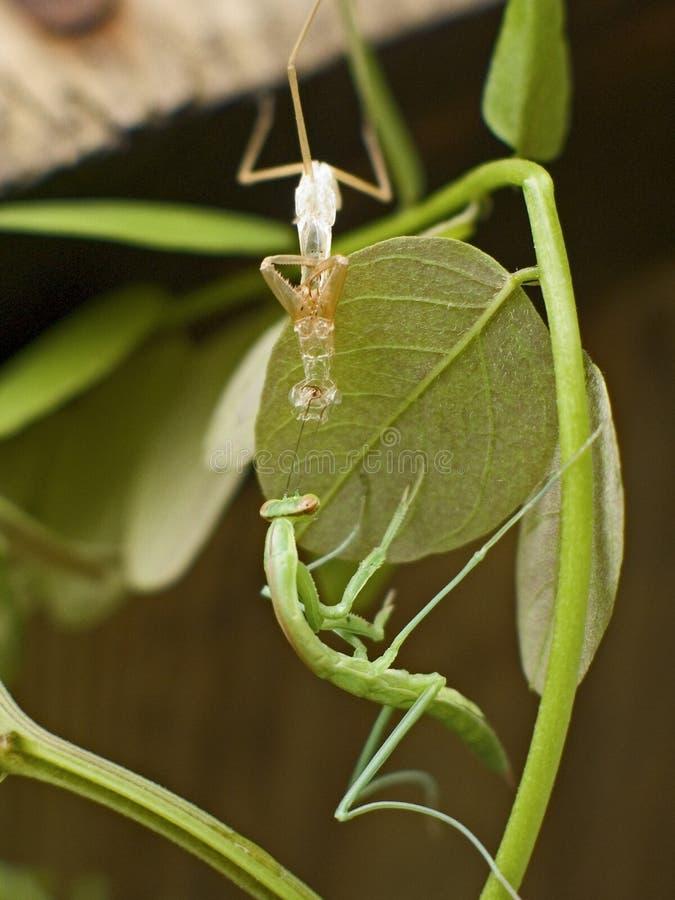 Download 流洒皮肤 库存图片. 图片 包括有 变换, 工厂, 昆虫, 绿色, 螳螂, 关闭, 唯一, 叶子, 跳跃者, 对比 - 183607