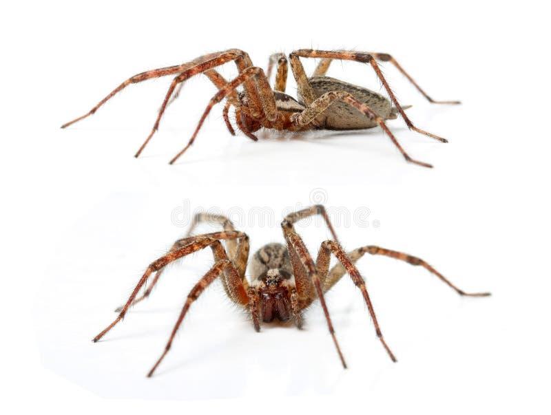 流浪汉蜘蛛, Tegenaria Agrestis 库存图片