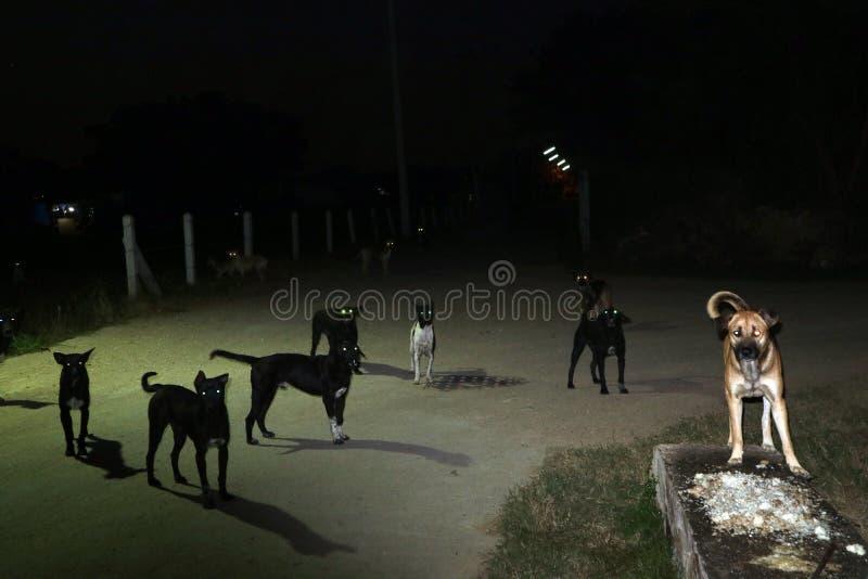 流浪狗的眼睛在夜间的,他们等待食物 免版税库存照片