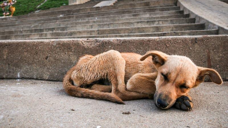 年轻流浪狗睡觉 库存图片