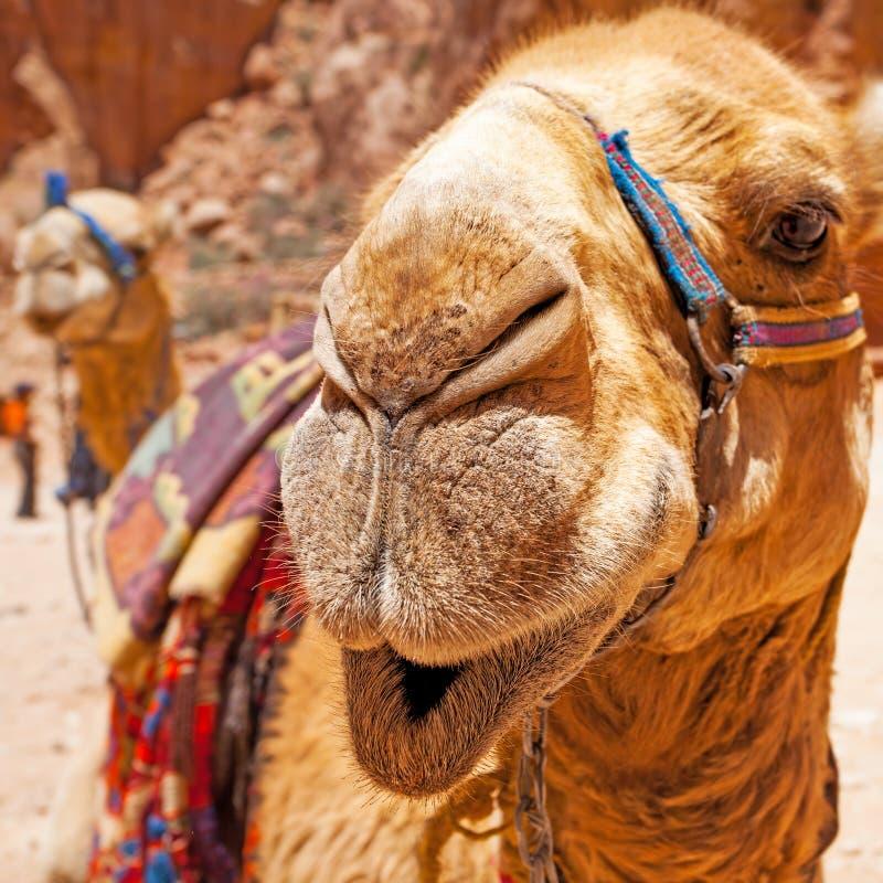 流浪的骆驼枪口 库存图片