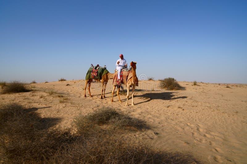 流浪的骆驼 免版税库存图片