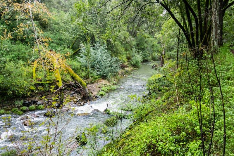 流经一个豪华的绿色森林,碧玉里奇生物蜜饯,旧金山湾区,加利福尼亚的小河 库存图片