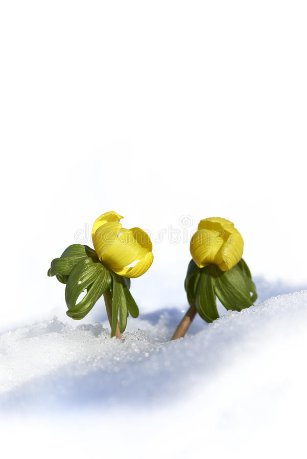 菟葵(菟葵属hyemalis)在雪 图库摄影