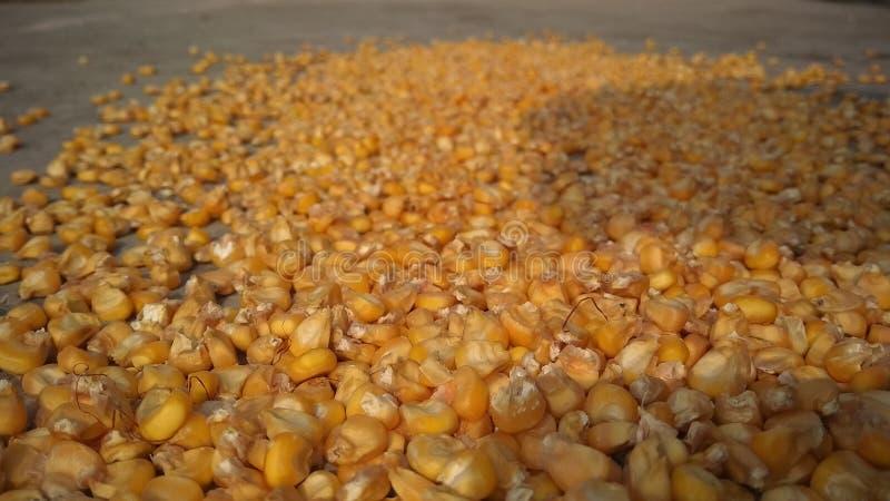 流行音乐玉米 库存图片