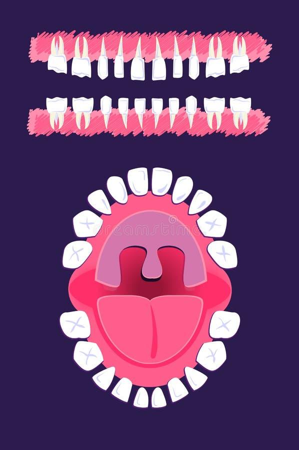 流洒显示牙的解剖学儿童牙齿爆发计时称谓 皇族释放例证