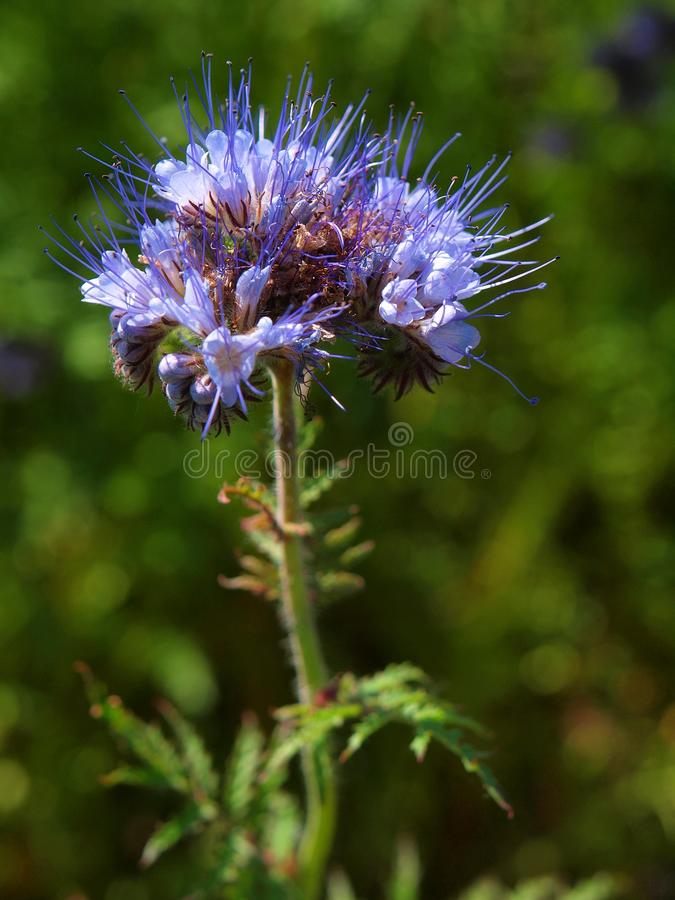浅兰的在领域的花紫色艾菊细节在背景中 在开花的青绿的紫色花震动 免版税图库摄影