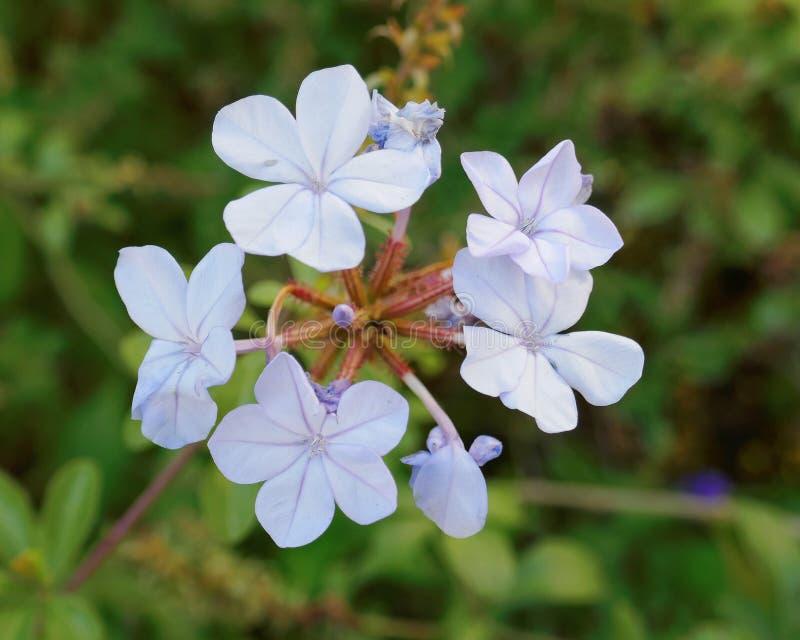 浅兰的茉莉花自然花束在庭院里 免版税库存图片