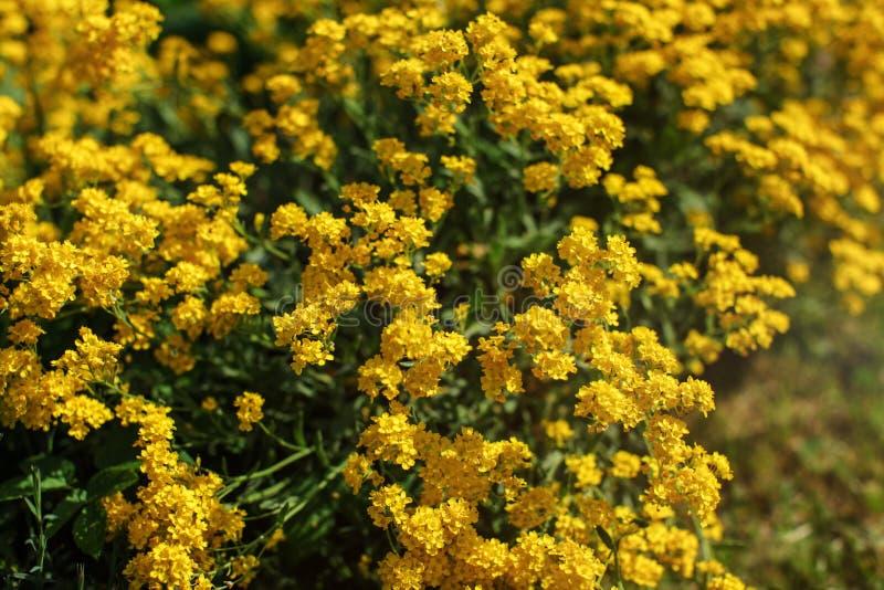 浅景深在太阳点燃的小黄色四季不断的花焦点照片的仅少量瓣  抽象背景春天 免版税库存照片