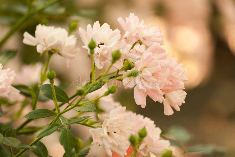 浅粉红色的上升的玫瑰的布什 精美花卉浅粉红色的背景 分支卷曲上升了 库存照片