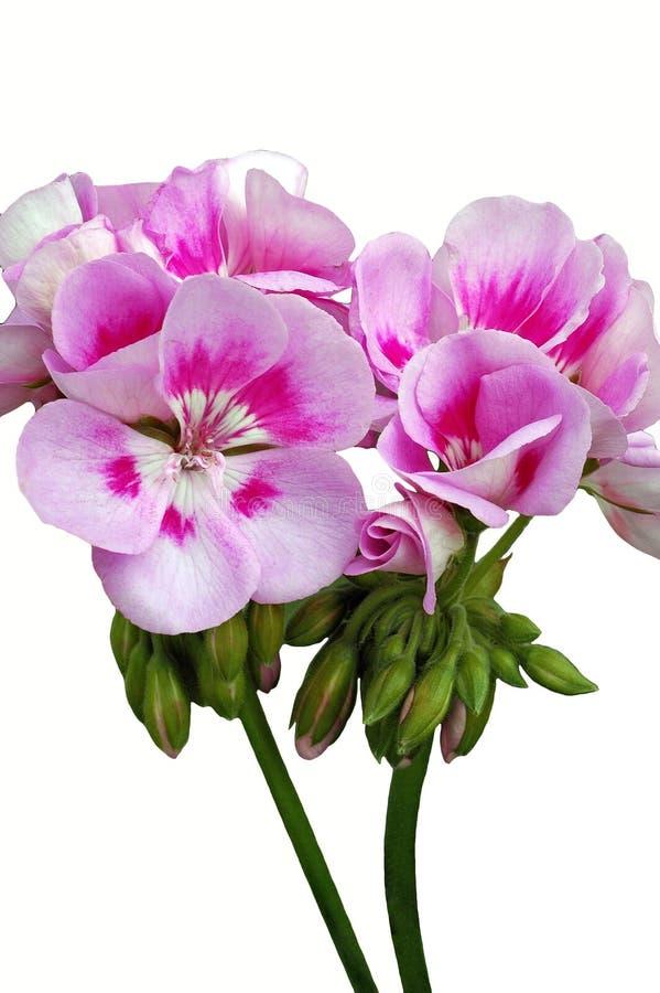 浅粉红色的天竺葵'蓝色'花 免版税库存图片