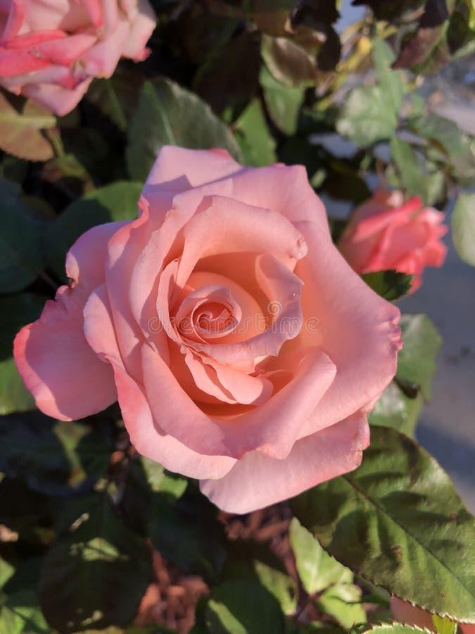 浅粉红色的罗斯在阳光下 图库摄影