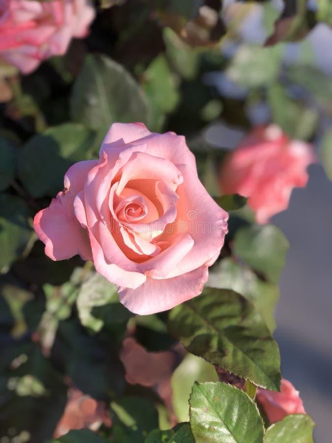 浅粉红色的罗斯在阳光下 库存图片